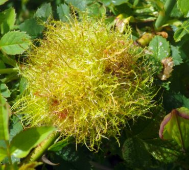 A hairy gall was created by a wasp laying eggs within a rose stem.
