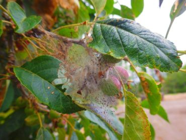 """A """"tent"""" of webbing created by western tent caterpillars, pests well known in the West Sound."""