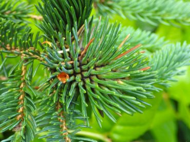 A gall produced by the feeding of the aphid-like cooley spruce bud adelgid