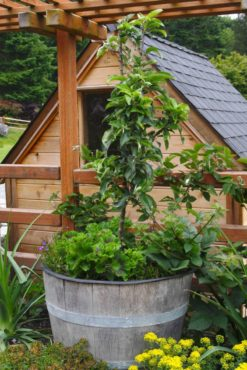 If you are short on space, grow mini-dwarf apple trees in containers.
