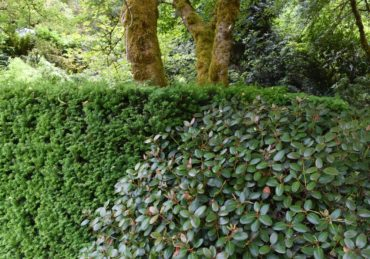 A toxic duet — rhododendron blending in with a yew