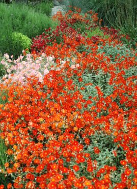 An exciting, hot-colored scene at the Albers Vista garden on a well-drained slope shows restraint through the planting of large drifts of a single species.