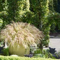 Backed by the famous hornbeam hedge at Heronswood, Kingston, this large planter truly shines as the focal point, filled only with Japanese forest grass.
