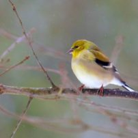 American Goldfinch (Spinus tristis)