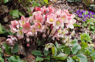 Helleborus x ballardiae HGC 'Pink Frost'