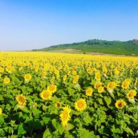 Field of sunflowers outside of Plovdiv
