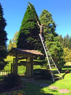 Bob Braid fine pruning a tall Hinoki cypress (Photo courtesy Andre ten Dam)