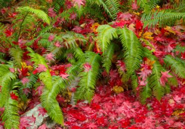 Sword ferns under a blanket of Japanese maple leaves