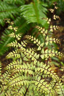 Athyrium otophorum, eared lady fern
