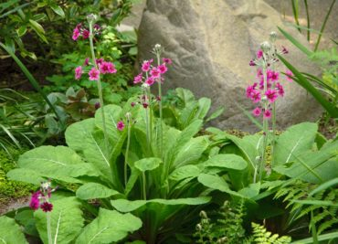 Primula japonica grown from Bloedel Reserve's seeds