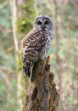 A barred owl surveying its territory