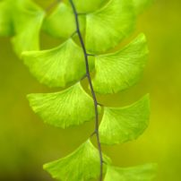 The delicate maiden hair fern, Adiantum tracyi