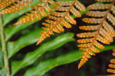 Young folliage of the autumn fern, Dryopteris erythrosora