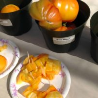 A sweet yellow large tomato, 'Gold Medal'