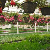 Fuchsia baskets getting ready for Mother's Day