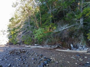 Thirty-one acres of high bluff shoreline protected on Hood Canal south of Dewatto. (Photo courtesy Patty Michak)