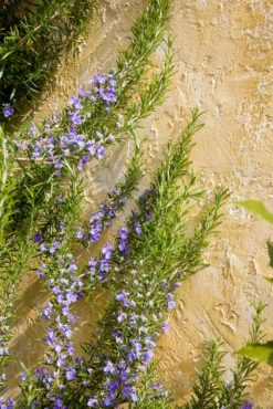 Rosemary (Rosmarinus officinalis 'Tuscan Blue')