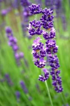 English lavender (Lavandula 'Royal Velvet')
