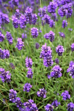 English lavender (Lavandula 'Tucker's Early')