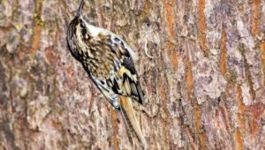 You may have to look close to see them, but brown creepers may show up in your backyard, like this one on a big leaf maple.