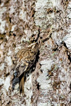 A brown creeper is spotted on a Douglas fir at Belfair State Park.