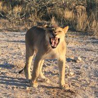 Six-month-old lion cub