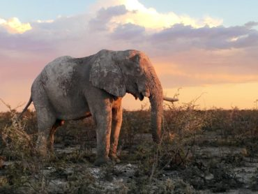 Bull elephant at sunset