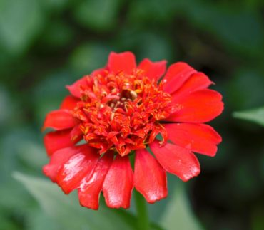 Scabiosa-flowered zinnia