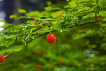 Vaccinium parvifolium berry