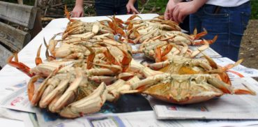 Dungeness crab is one of the locally caught foods served at events hosted by the Port Gamble S'Klallam Tribe and the Suquamish Tribe.