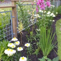Chrysanthemum 'Real Glory' (shasta daisy), Oriental lily double pink Natalia, Limoncello (yellow)