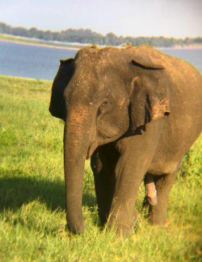 Elephant at Minneriya National Park