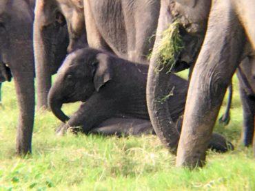 Baby elephant at Minneriya National Park