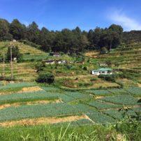 Terraced fields of tea