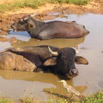 Water buffalo in Yala National Park