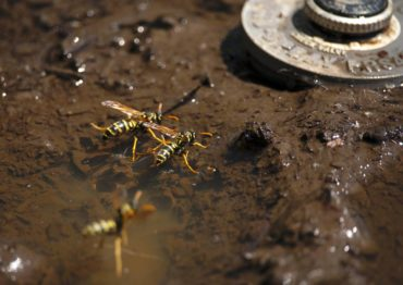 Wasps congregate near water spigots during our dry summer. (Photo by Christina Rede, WSU Entomology)