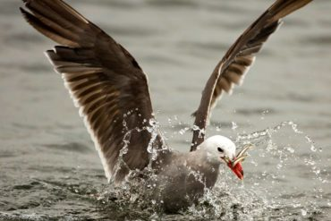 "Heermann's gull in breeding plumage pounces on a bait ball of forage fish at Fort Flagler State Park near Port Townsend. (This photo by Janine Schutt is featured on Kitsap Audubon Society's ""Important Bird Area"" interpretive sign at Point No Point County Park.)"
