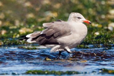 Heermann's gull in nonbreeding plumage strolls the beach at Point No Point County Park in Hansville.