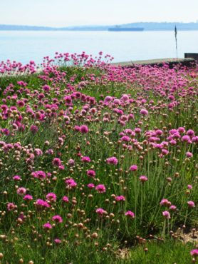 Sea thrift planted in place of a lawn shrug off the salt water that periodically splashes over the concrete bulkhead.
