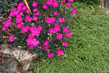 Pinks and wooly thyme nestle in comfortably among rocks.