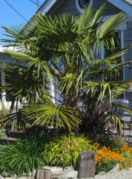 Windmill palm does well in our climate and looks at home by the Sound.