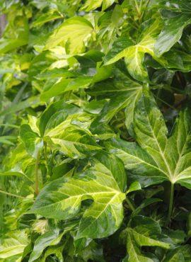 Fatshedera lizei 'Aurea Maculata'