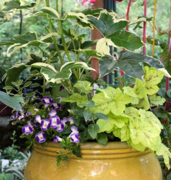 Fatsia japonica 'Variegata' used as a thriller in a pot with other shade-tolerant plants