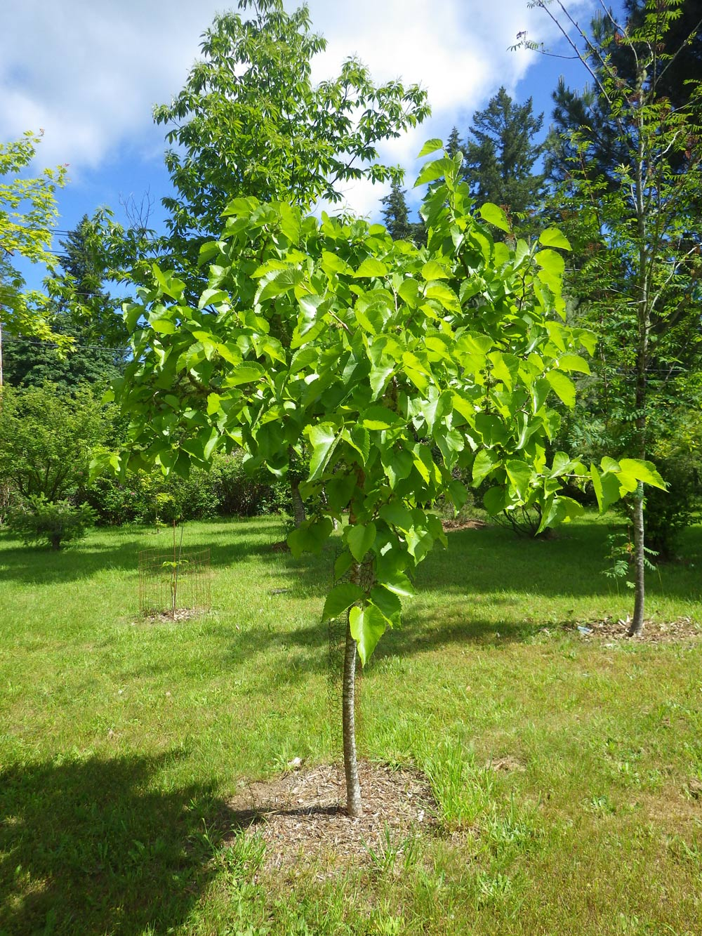 How to grow cedar from a nut tree at home and in a garden plot