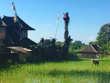 Tending rice fields in Penestanan, high above Ubud