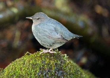 An American dipper surveys its territory from a mossy rock by Chico Creek.