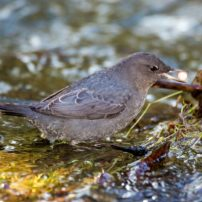 An American dipper finds a tasty salmon egg in Chico Creek near Bremerton.
