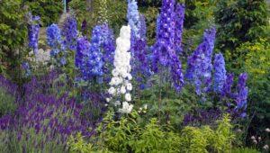 Delphinium New Zealand strain