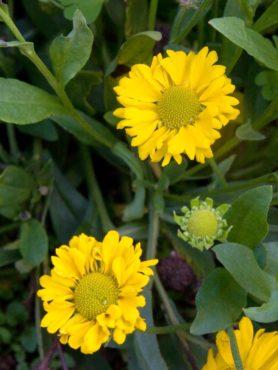 Sneezeweed (Helenium 'Butterpat')