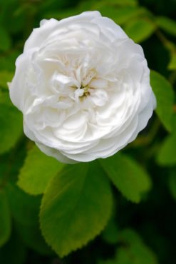 Madam Hardy rose (Rosa 'Mme Hardy')